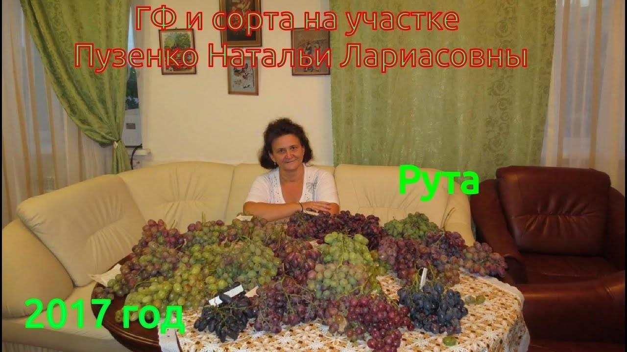 Красивый сорт со сладким черешнево-мускатным вкусом: виноград «рута»