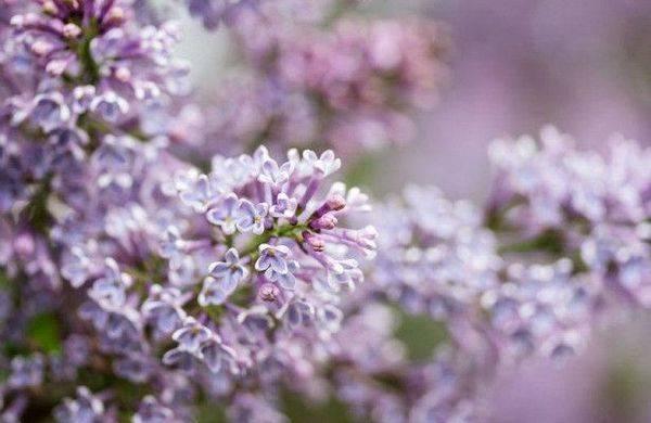 Сирень не цветет: причины, способы устранения проблемы