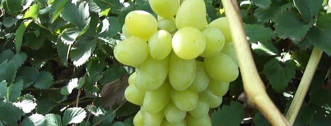 Виноград левокумский: описание, посадка, уход, заболевания