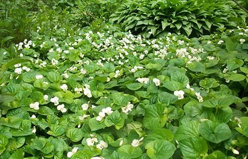 Садовая фиалка - описание и фото цветков, посадка и уход в саду, в открытом грунте, как пересаживать многолетнюю