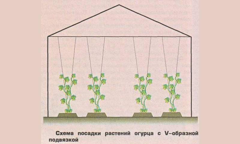 Формирование огурцов в теплице. схемы формировки, подвязка, пасынкование