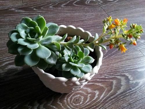 Каменная роза: посадка и уход в домашних условиях, размножение, описание видов