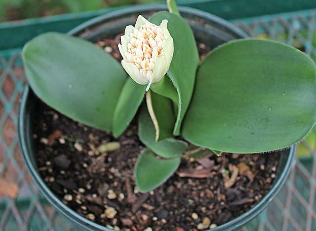 Цветок гемантус уход и содержание в домашних условиях, описание и виды комнатного растения