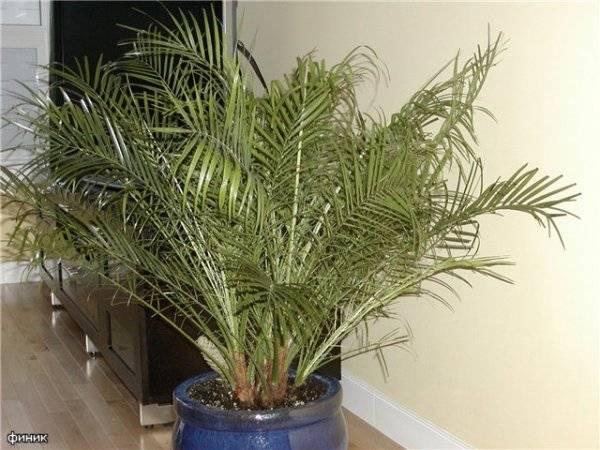 Как вырастить финиковую пальму из косточки: посадка и уход в домашних условиях