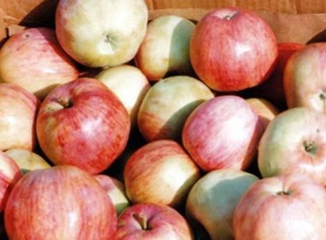 Яблоня бельфлер-китайка: особенности сорта и ухода