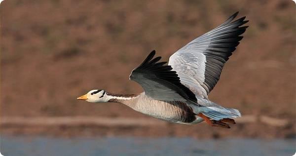 Породы диких гусей — обзор видов, фото и описание