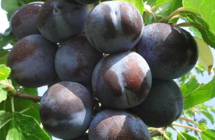 Сорта сливы для средней полосы: скороспелые, крупноплодные, поздние, среднеспелые, самоплодные