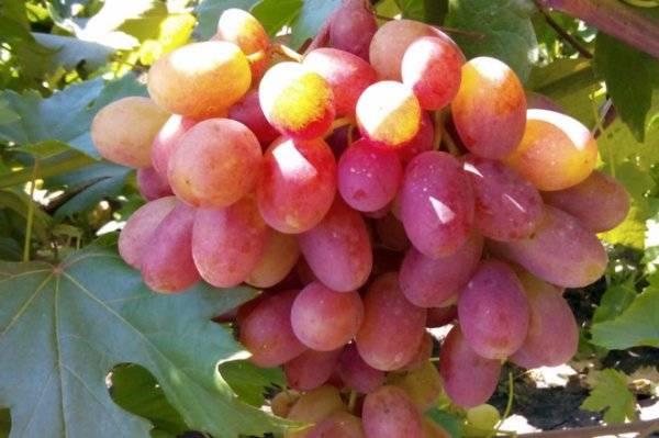 Сорт винограда гурман ранний, описание сорта с характеристикой и отзывами, а также особенности посадки и выращивания