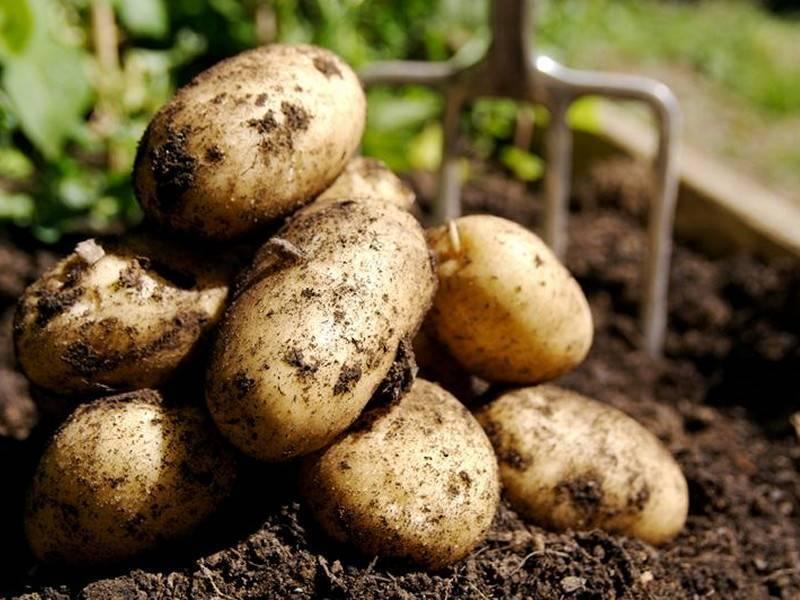 Почему скручиваются листья картофеля: причины, лечение