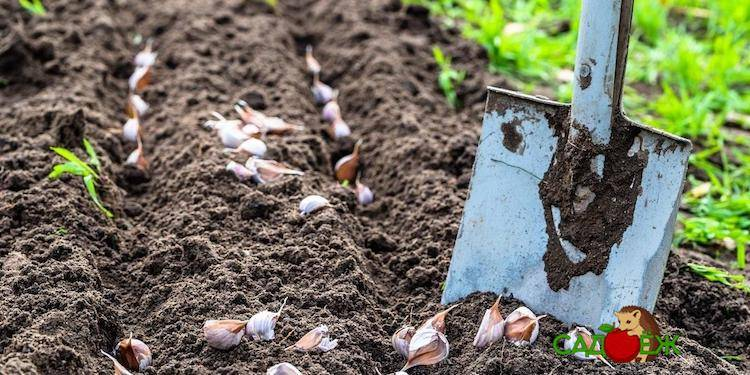 Как подготовить грядку под озимый чеснок осенью – 3 полезных совета