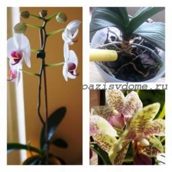 Узнаем больше про полив орхидеи зимой во время цветения