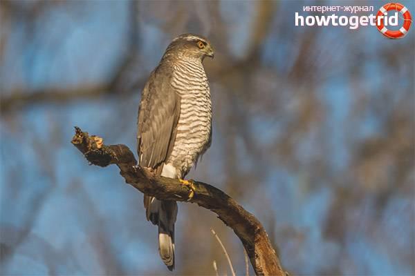 Перепелятник птица. образ жизни и среда обитания перепелятника   животный мир