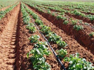 ✅ расход картофеля при посадке на 1 сотку, норма высева, густота - tehnomir32.ru