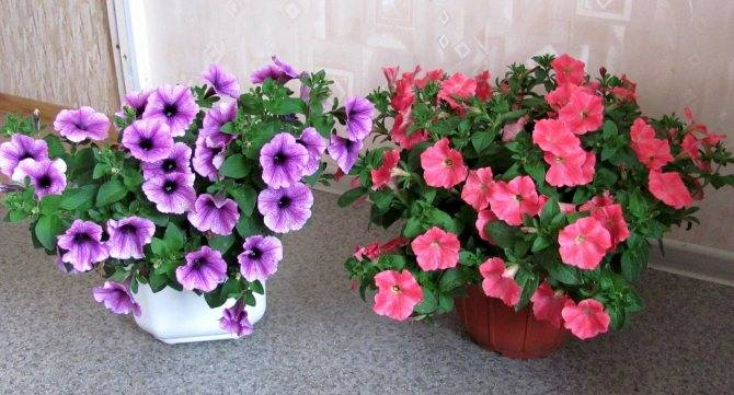 О петуниях, уходе и выращивании в домашних условиях из семян и черенкованием