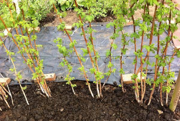 Уход за малиной осенью от а до я – подготовка к зиме: обрезка, подкормка, полив, укрытие – 4 сезона огородника