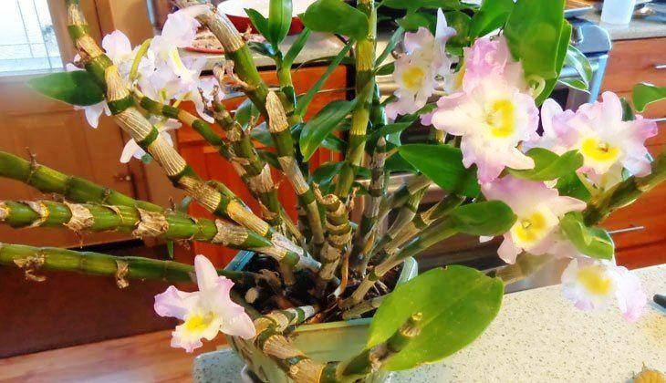 Уход за орхидеей дендробиум после цветения в домашних условиях: если она отцвела, что делать дальше?