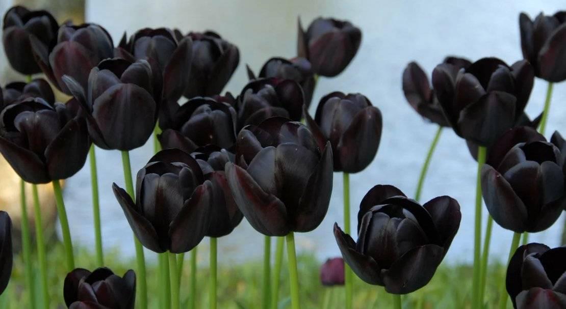 Бахромчатые тюльпаны описание и фото сортов тюльпанов.