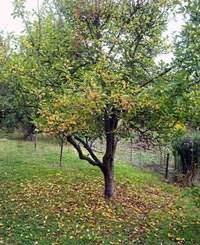Подготовка яблонь к зиме в подмосковье: 10 обязательных этапов
