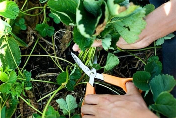 Особенности ухода за клубникой осенью: подкормка, обрезка, укрытие. как подготовить клубнику к зиме, чтобы увеличить урожайность   женский журнал tatros.info