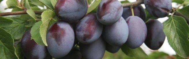 Плодовое дерево слива: описание лучших сортов, уход и условия выращивания в открытом грунте
