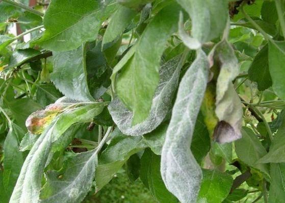 Как избавиться от ржавчины на растениях - средства борьбы