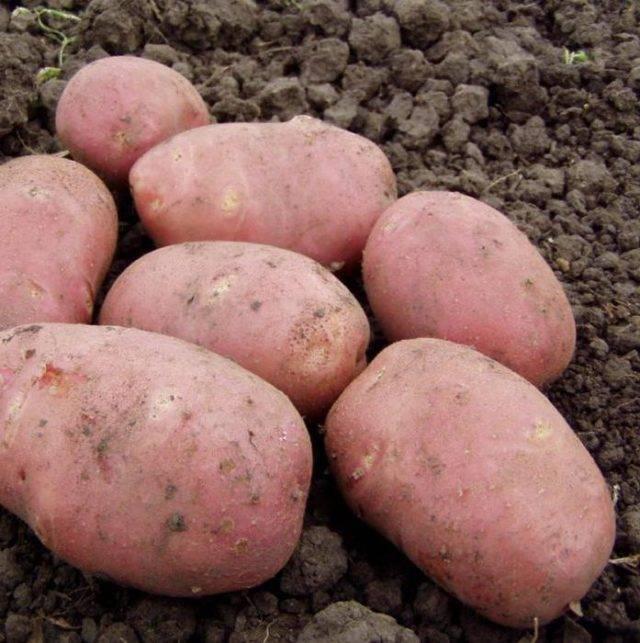 Особенности картофеля сорта родриго: фото и описание, инструкция по выращиванию и другие нюансы