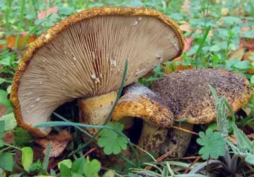 Черный груздь и другие разновидности гриба с подробным описанием