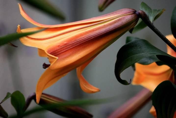 Неотразимые видовые лилии: описание, виды и фото