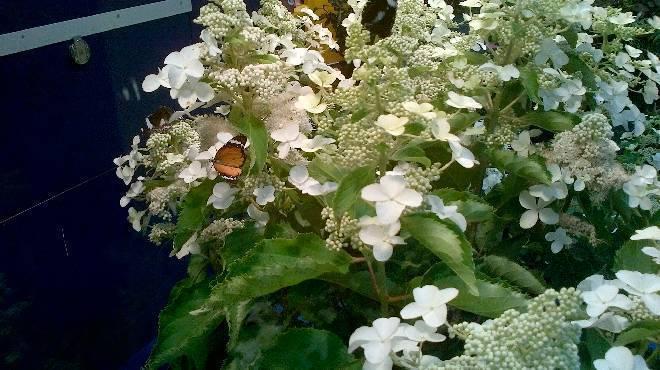 Гортензия - виды и сорта (15 фото) с описанием и характеристиками