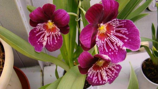 Необыкновенная орхидея мильтония: описание и уход в домашних условиях