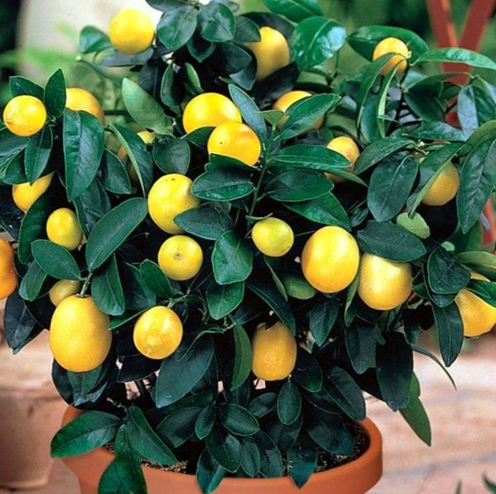 Как вырастить лимон из косточки и получить плоды?