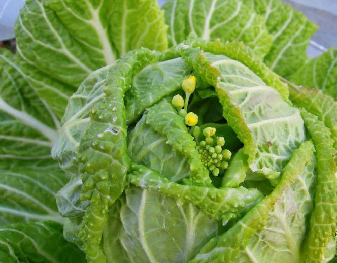 Топ 11 лучших сортов капусты для открытого грунта