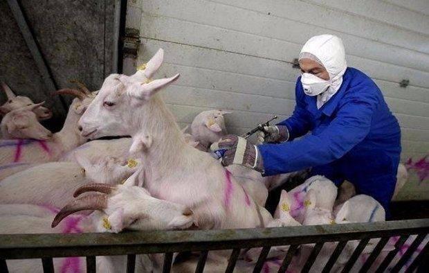 Как правильно раздоить козу после первого окота: раздой первокотки и можно ли проводить процедуру без произведения животным потомства?