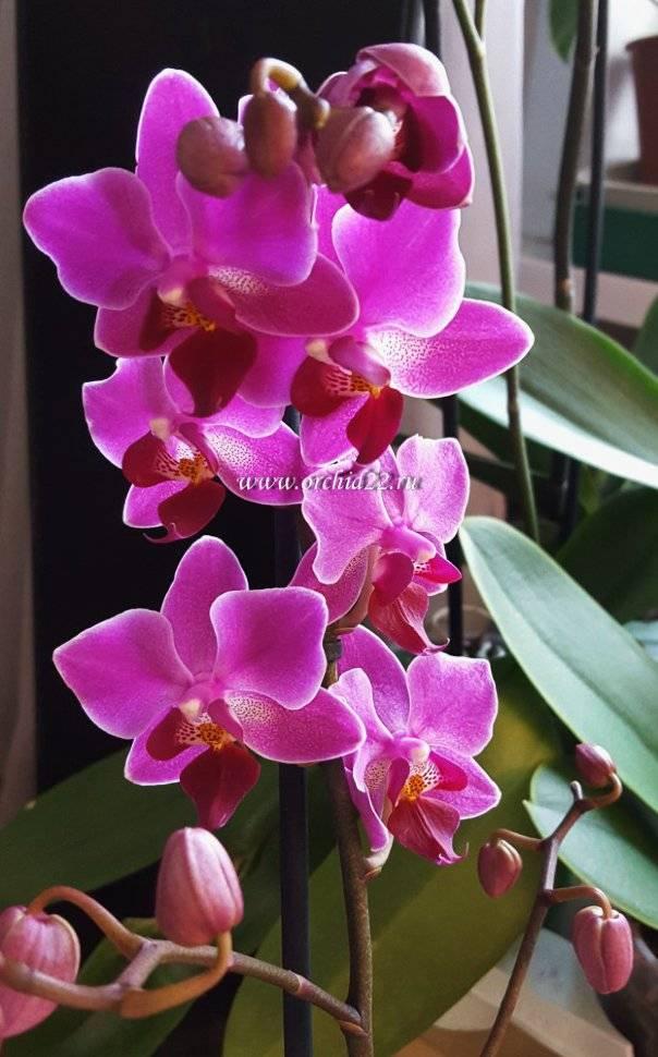 Фаленопсис филадельфия: описание и фото сорта орхидеи