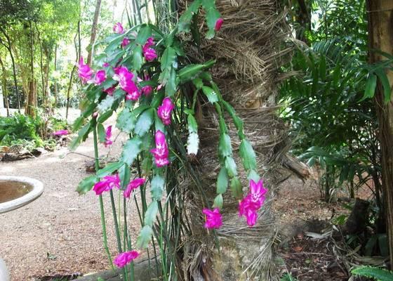 Белый декабрист: фото разных сортов цветка с таким окрасом, и можно ли получить шлюмбергеру с подобным оттенком в домашних условиях? selo.guru — интернет портал о сельском хозяйстве