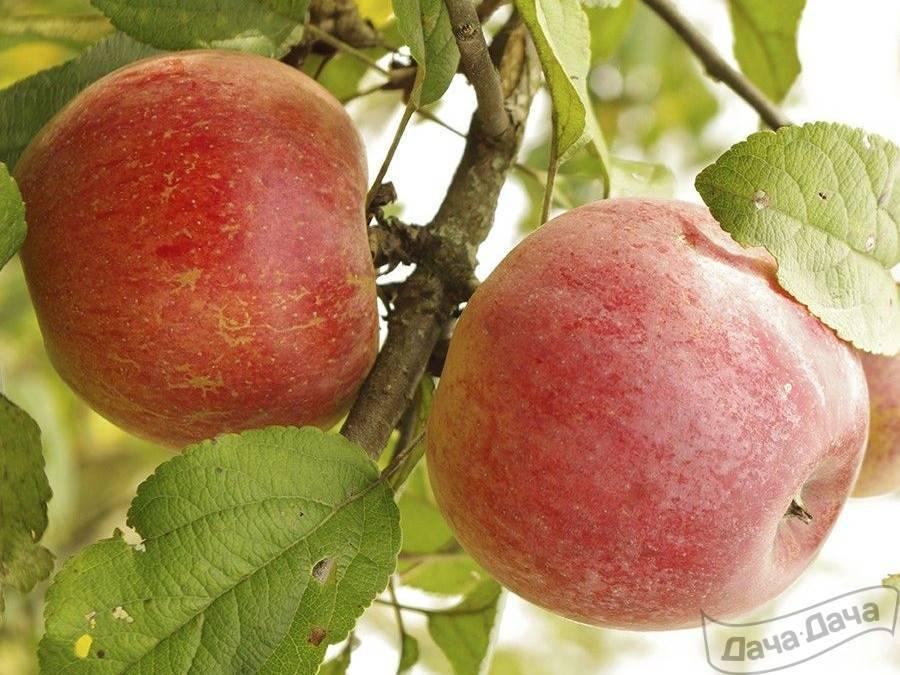 Яблоня «ветеран» — описание сорта, достоинства и недостатки, посадка и уход, фото