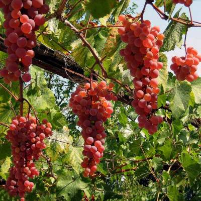 Виноград блестящий: описание сорта - про сорта