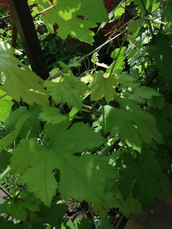 Листья у винограда светло зеленые, бледные: причины заболевания