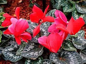Как поливать цикламен: часто ли увлажнять почву во время цветения, каким образом правильно пересаживать, а также советы по уходу в домашних условиях с фото selo.guru — интернет портал о сельском хозяйстве