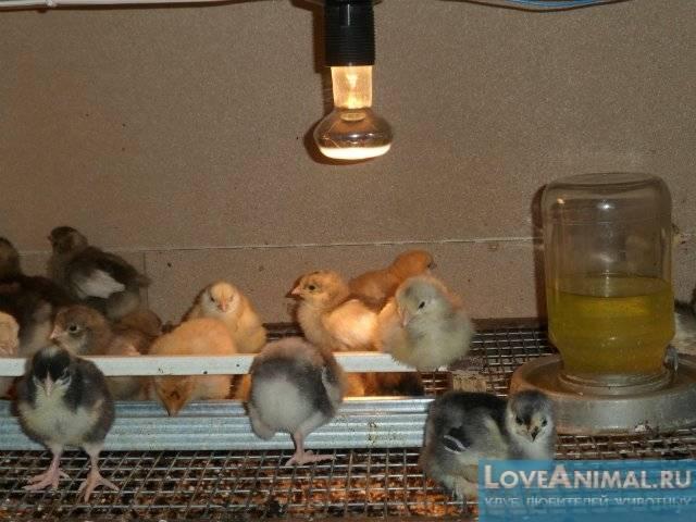 Когда дают тривитамин п цыплятам