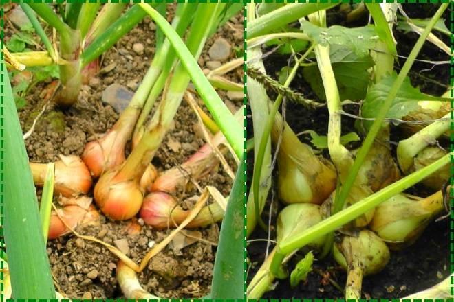 Лук семейный: описание, выращивание, как называется (лучшие сорта с фото), как правильно посадить весной на репку, уход