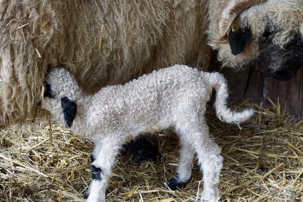Как определить суягность и сколько ходит овца беременная