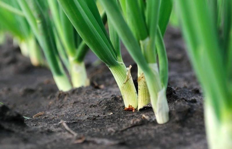 Как часто и правильно поливать лук в открытом грунте, как поливать лук солью и нашатырным спиртом от луковой мухи