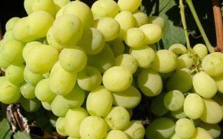 Виноград лора: описание культурного сорта, отзывы о нем, когда лучше высаживать, сроки созревания, полив, что делать, если ягоды опадают