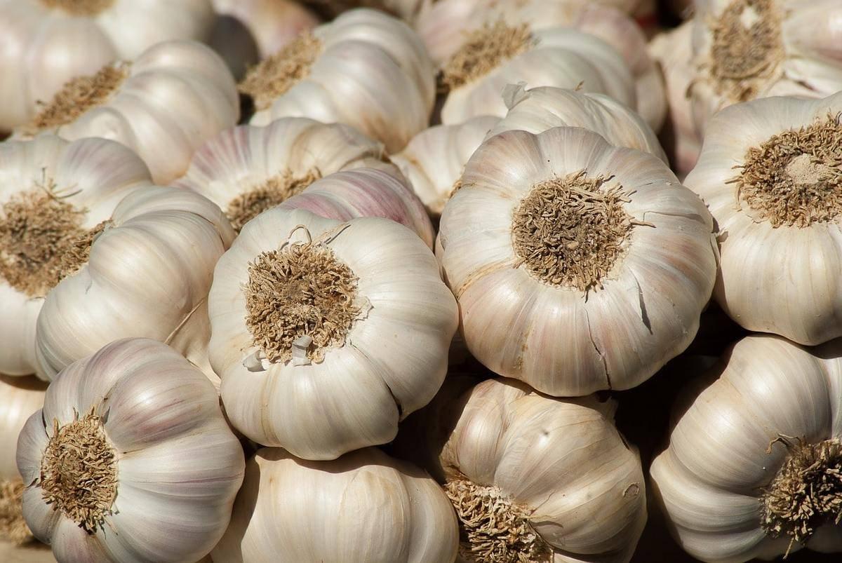 Яровой чеснок: посадка и уход в открытом грунте, выращивание из семян, уборка и хранение