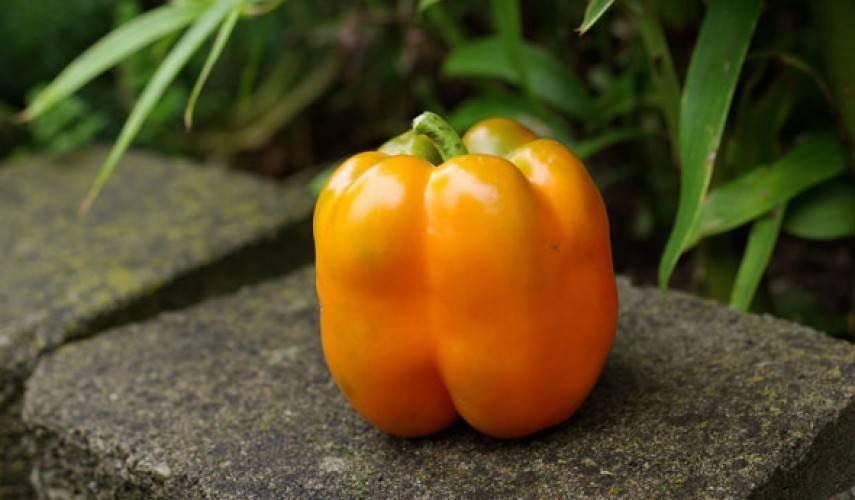 Все о перце оранжевое чудо – характеристики сорта и особенности выращивания