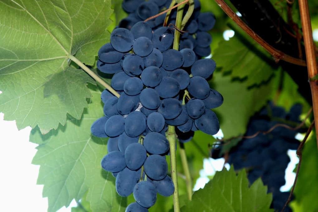 Посадка винограда: подробная пошаговая инструкция как посадить разные сорта винограда