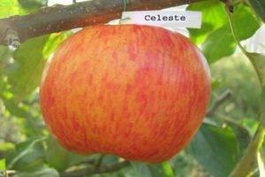Яблоня баяна: описание сорта, посадка и уход, фото, отзывы