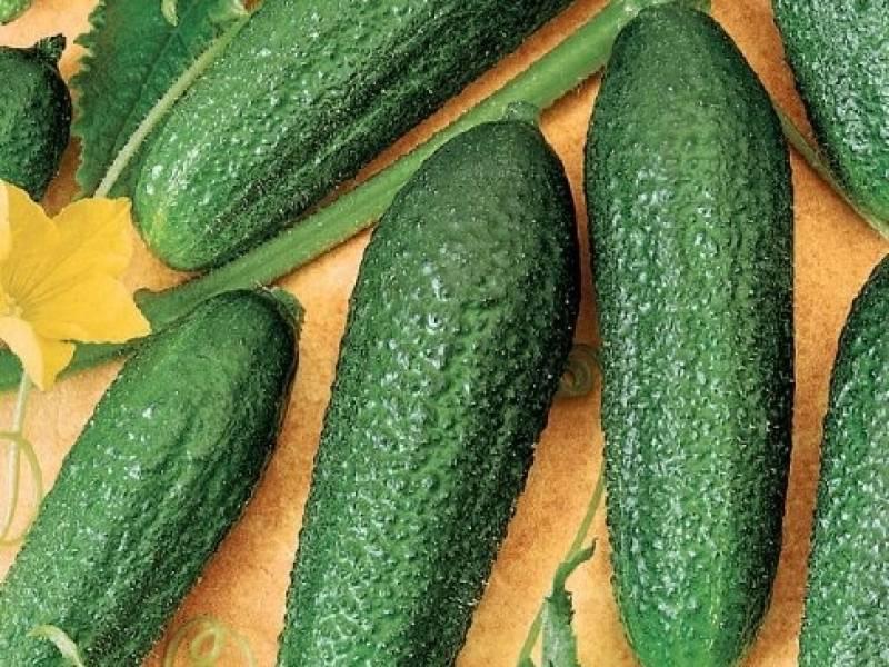 Описание сорта огурцов адам и рекомендации по выращиванию и уходу