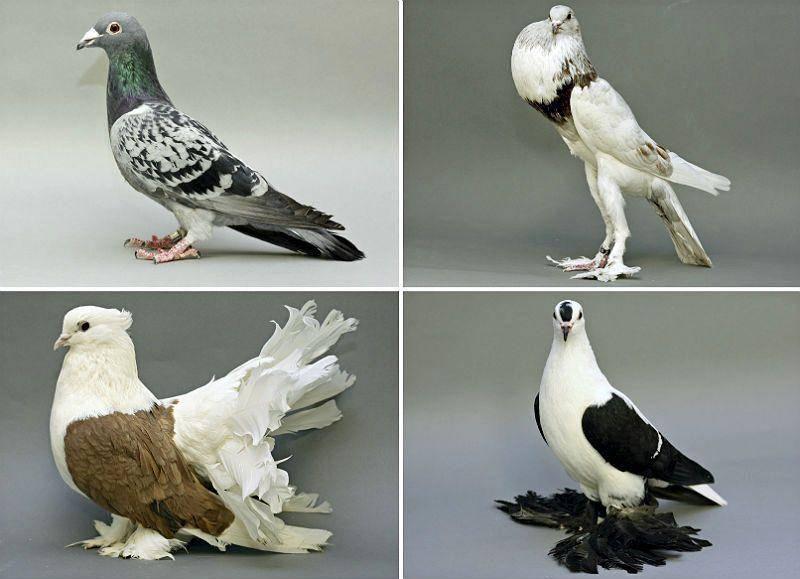 Разведение и содержание голубей в домашних условиях разведение и содержание голубей в домашних условиях
